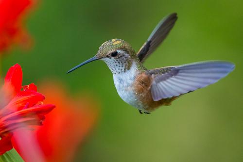 Hummingbird Image 10-5-13